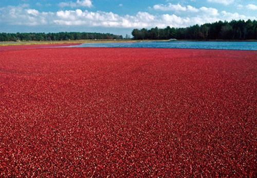 cape-cod-cranberry-bog-harwich-ss